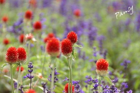 花菜ガーデン・・9