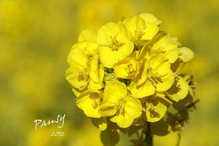 菜の花畑 2012・・4