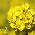 写真: 菜の花畑 2012・・4