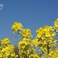 写真: 菜の花畑 2012・・5