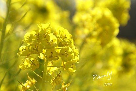 菜の花畑 2012・・6