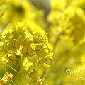 写真: 菜の花畑 2012・・6
