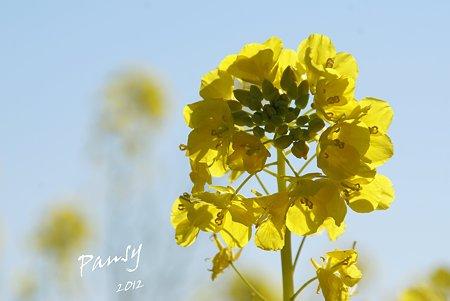 菜の花畑 2012・・7