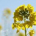 写真: 菜の花畑 2012・・7