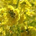 写真: 菜の花畑 2012・・8