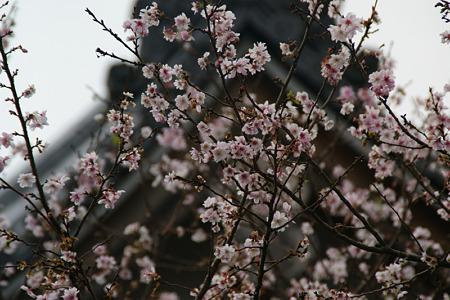 十月桜が満開、円覚寺!(111105)