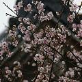写真: 十月桜が満開、円覚寺!(111105)
