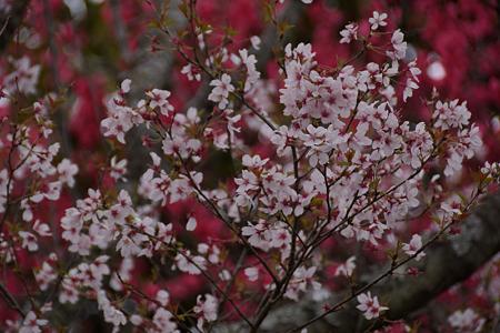 彼岸桜と緋桃のコラボ!