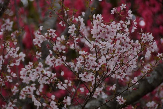 Photos: 彼岸桜と緋桃のコラボ!
