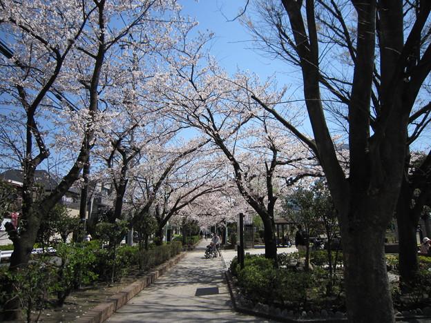 写真: 桜 (7)