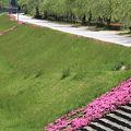 110520-80芝桜