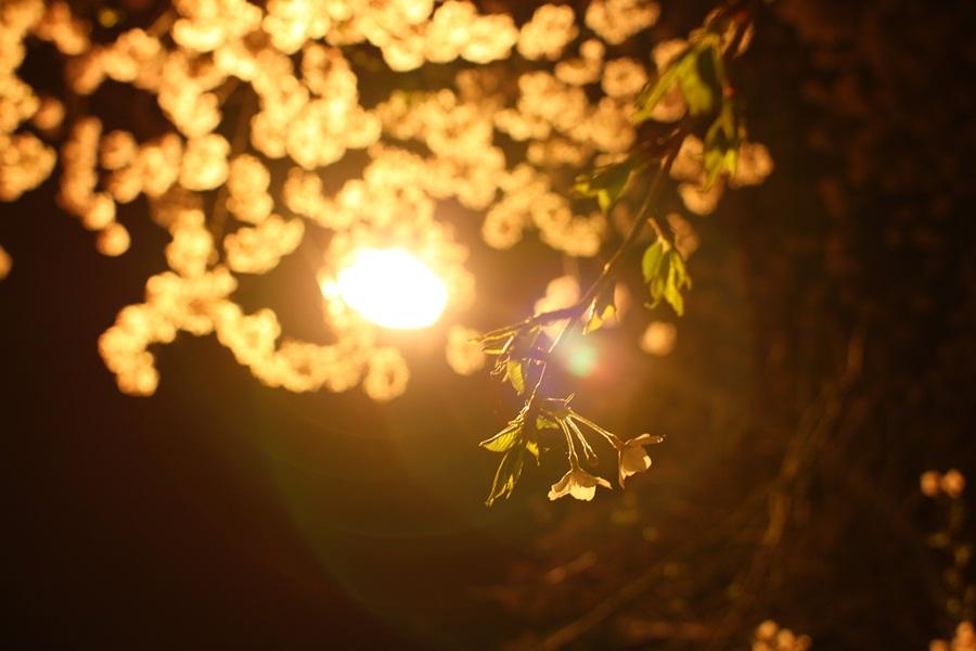 桜(河口湖)