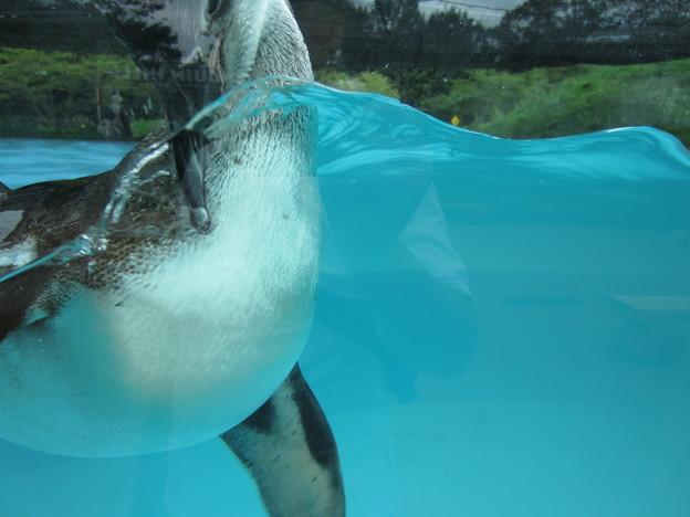 フンボルトペンギン (6)