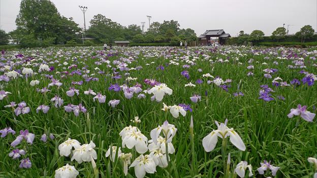 大和花しょうぶ園(7)