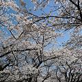 Photos: 秋月の桜@2012(2)