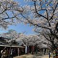 Photos: 秋月の桜@2012(1)