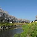 草場川の桜並木・ふれあい広場付近(2)