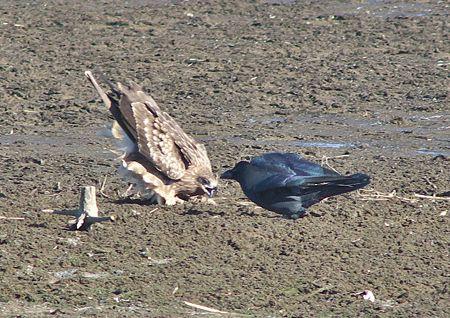 猛禽とカラス2