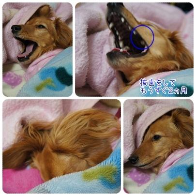20120209 JURIの歯(抜歯して、もうすぐ2ヵ月)