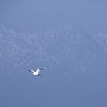 立山連峰を背景に 白鷺(1)