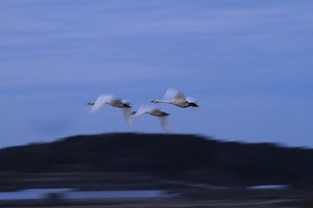 コハクチョウの飛翔(1)
