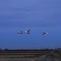 コハクチョウの飛翔(2)