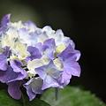 雨の紫陽花(紫) 長谷寺