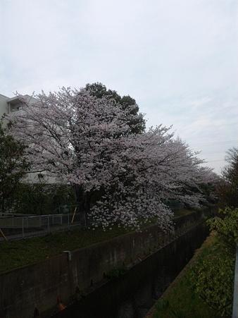今年の桜その3