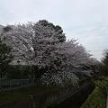 Photos: 今年の桜その3