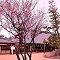 Photos: 宮島 大願寺の梅もほころび・・