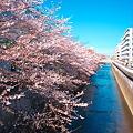 春の石神井川