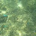 写真: アルパット島近くで熱帯魚その01