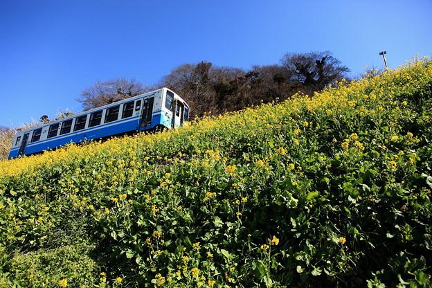 優しい菜の花と列車