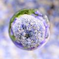 花玉紫 紫陽花