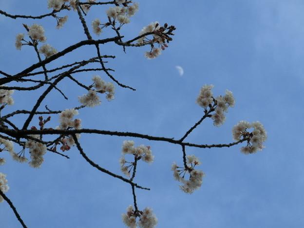 Photos: 昼間の半月とハルウララの桜。